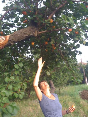 Anna pallar aprikoser